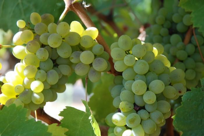 White Grapes 700X468